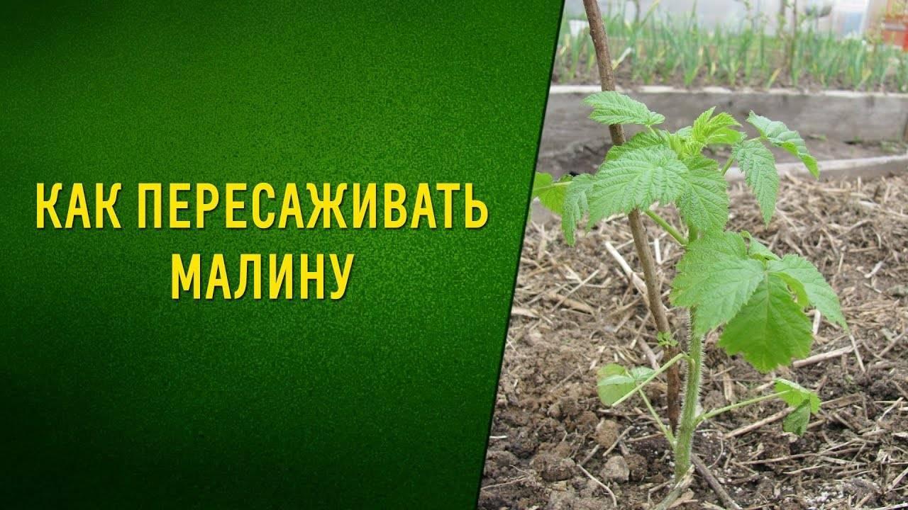 Пересадка малины осенью на новое место сроки советы садоводов видео