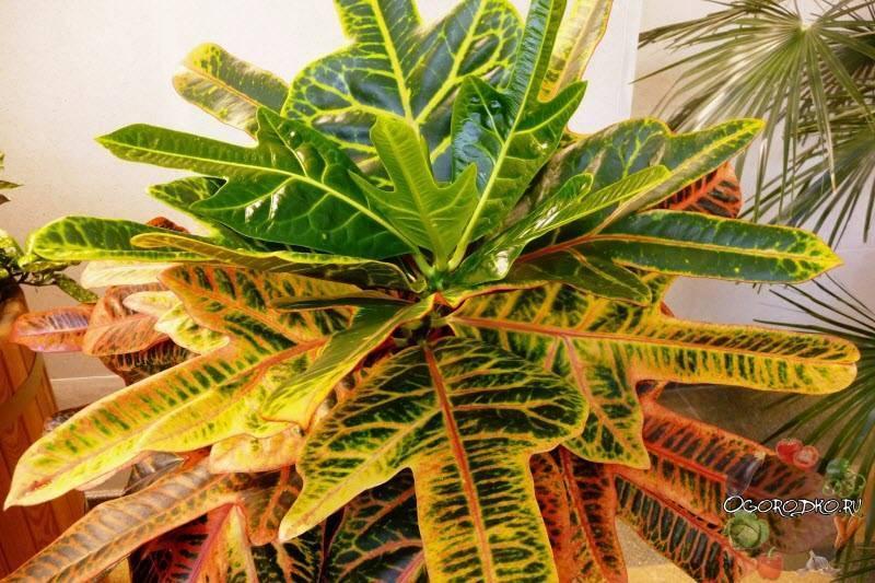 Размножение кротона (20 фото): как размножить его листом и черенками в домашних условиях? последующий уход за рассадой
