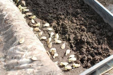 Как вырастить рассаду кабачков