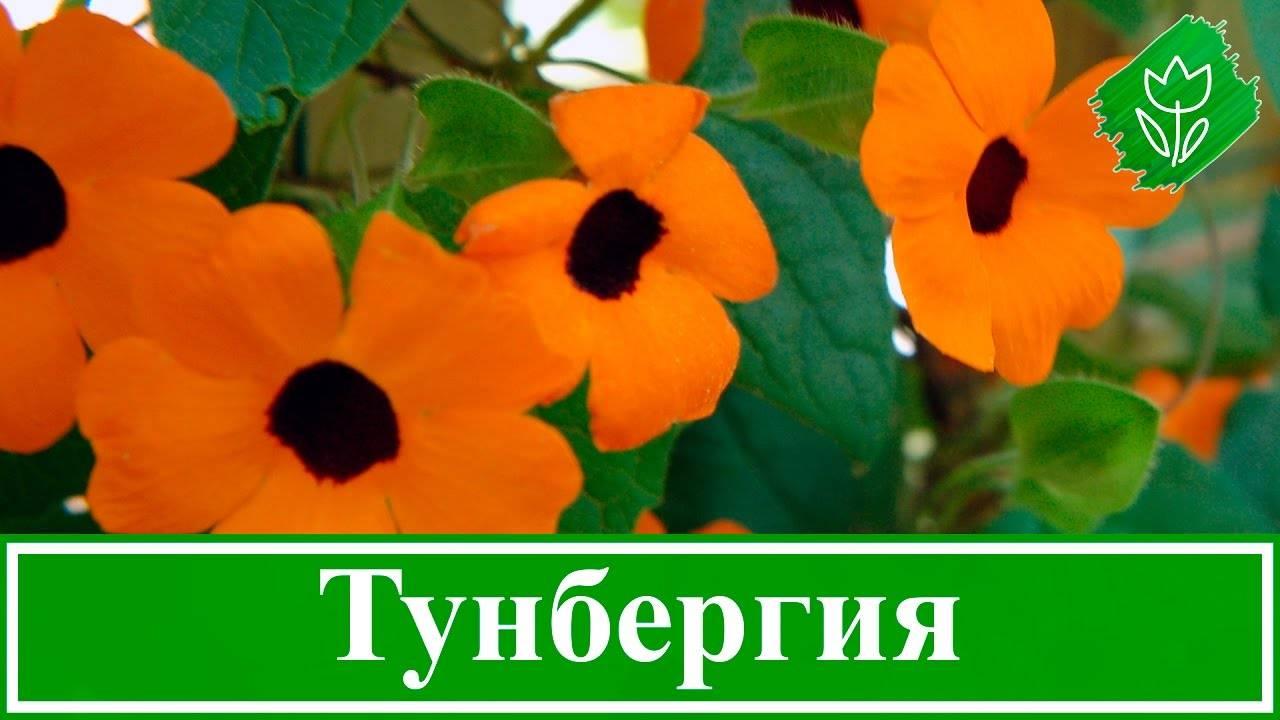 Все о выращивании тунбергии из семян: посадка и уход за цветком в открытом грунте