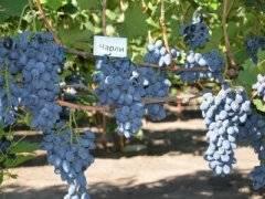Сорт винограда чарли: описание и отзывы, фото