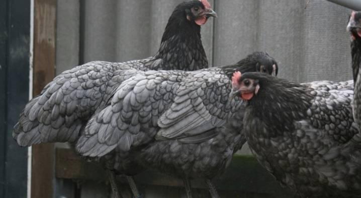 Порода кур черный австралорп: описание и фото породы