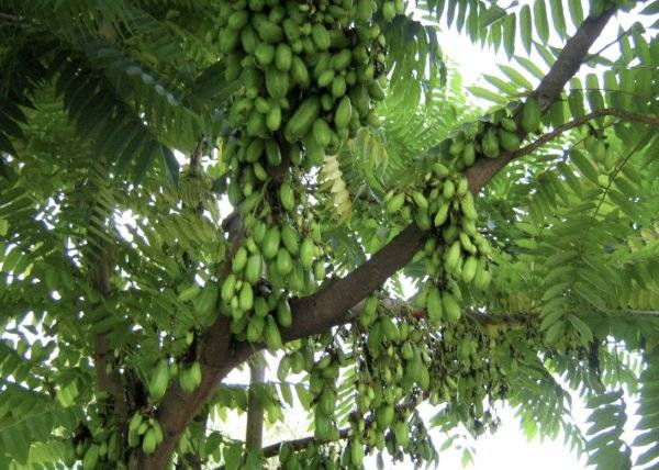Огуречное дерево билимби описание фото - агро журнал pole39.ru