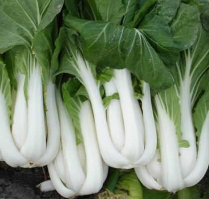 Китайская капуста: выращивание и уход в открытом грунте, в теплице и в домашних условиях