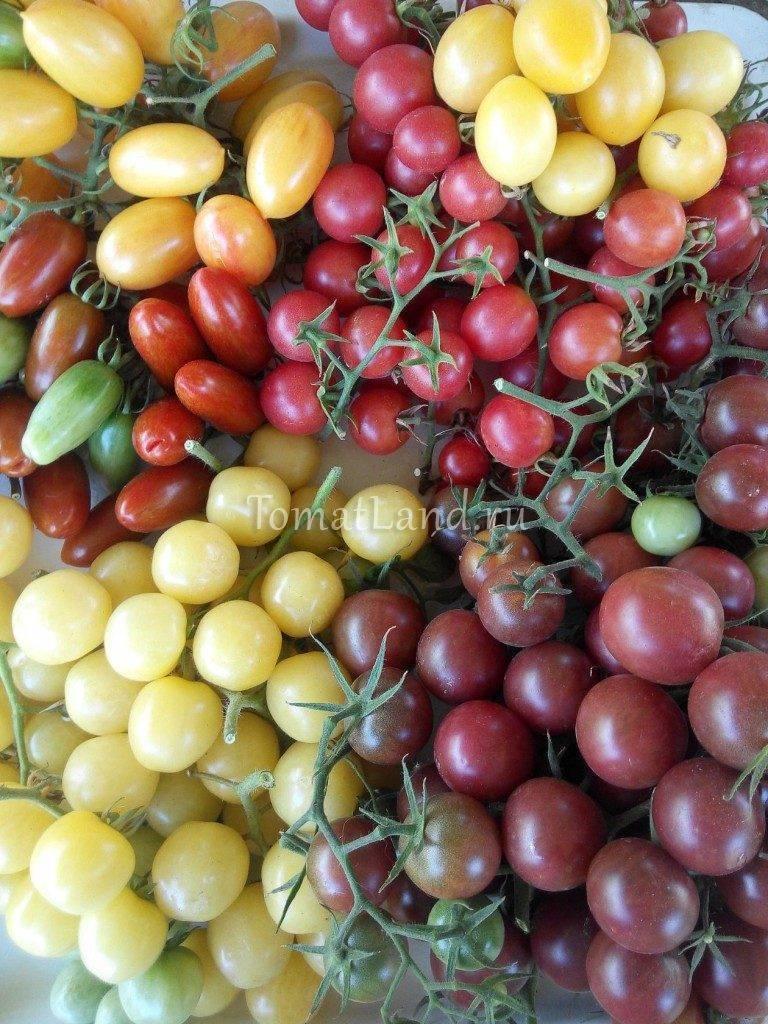 Сорта черных томатов с фото и описанием, названиями для теплиц и открытого грунта подмосковья, сибири, урала, средней полосы и юга россии