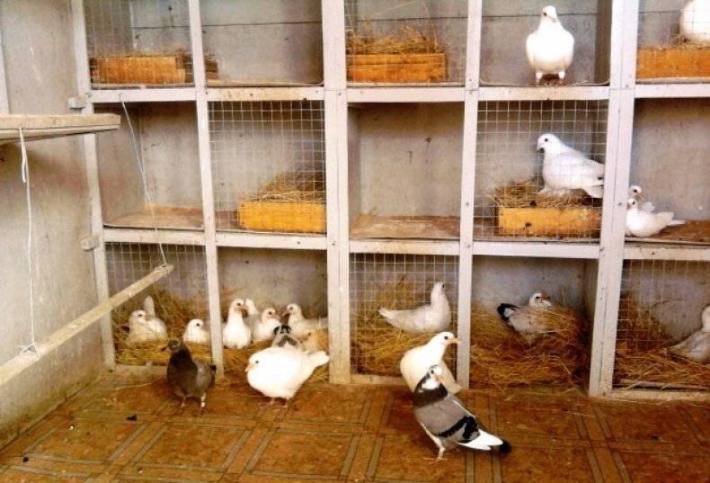 Содержание голубей в квартире и доме | наши птички