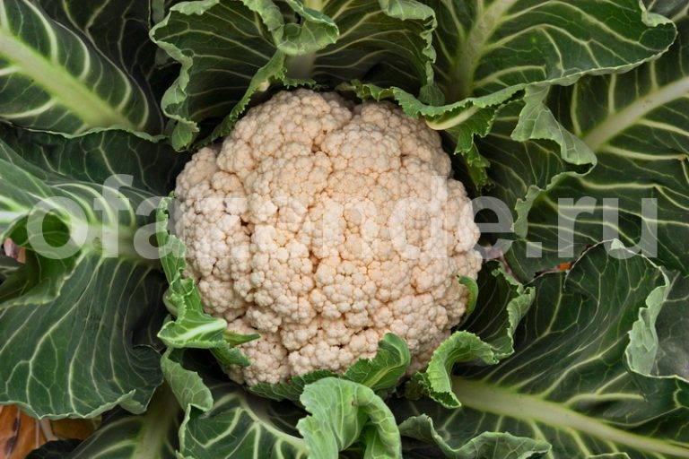 Сорта цветной капусты лучшие для различных регионов страны