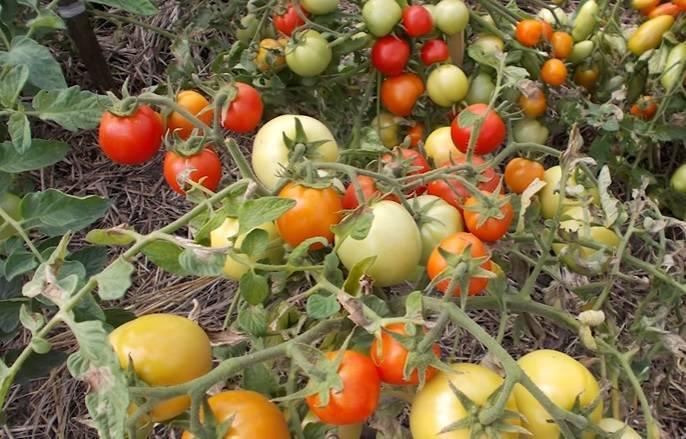 Томат видимо невидимо: описание и характеристика сорта, особенности выращивания, отзывы, фото