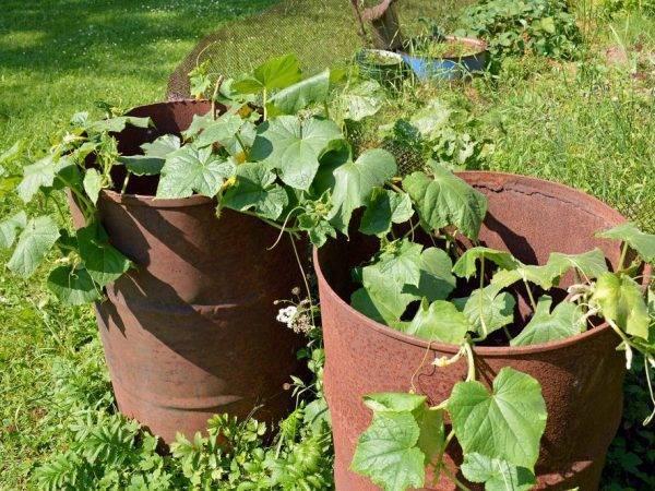 Выращивание и посадка огурцов по советам о. ганичкиной