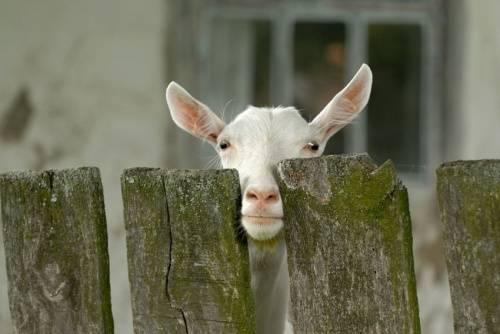 Охота у коз: признаки и как их определить
