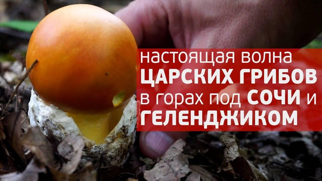 Цезарский гриб — википедия. что такое цезарский гриб