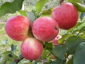 Агротехника яблони