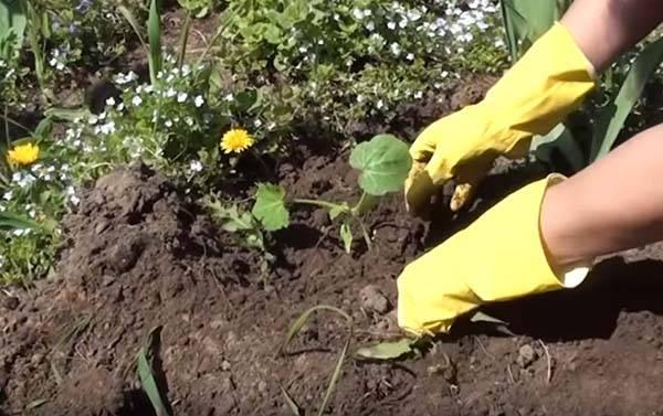 Как сажать кабачки: основные правила, несколько способов – семенами и рассадой, какая должна быть почва и что в неё добавить