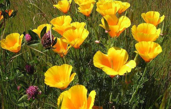 Эшшольция: выращивание из семян, когда сажать и как выращивать