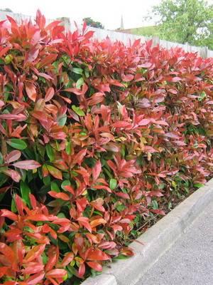 Вечнозеленые растения для дома и сада. виды. примеры. фото и названия