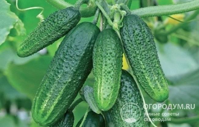Плоды с лучшими качествами для консервирования — огурец пасадобль f1: подробное описание