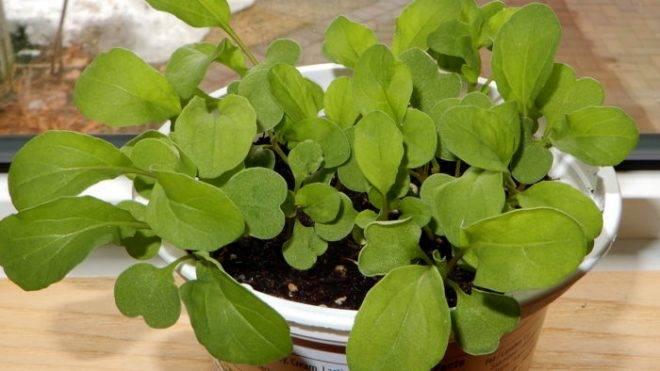 Выращивание рукколы на подоконнике