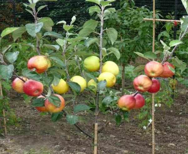 Посадка яблони осенью: пошаговое руководство