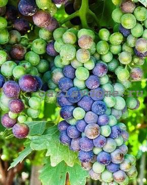 Проращивание черенков винограда в домашних условиях весной после хранения зимой