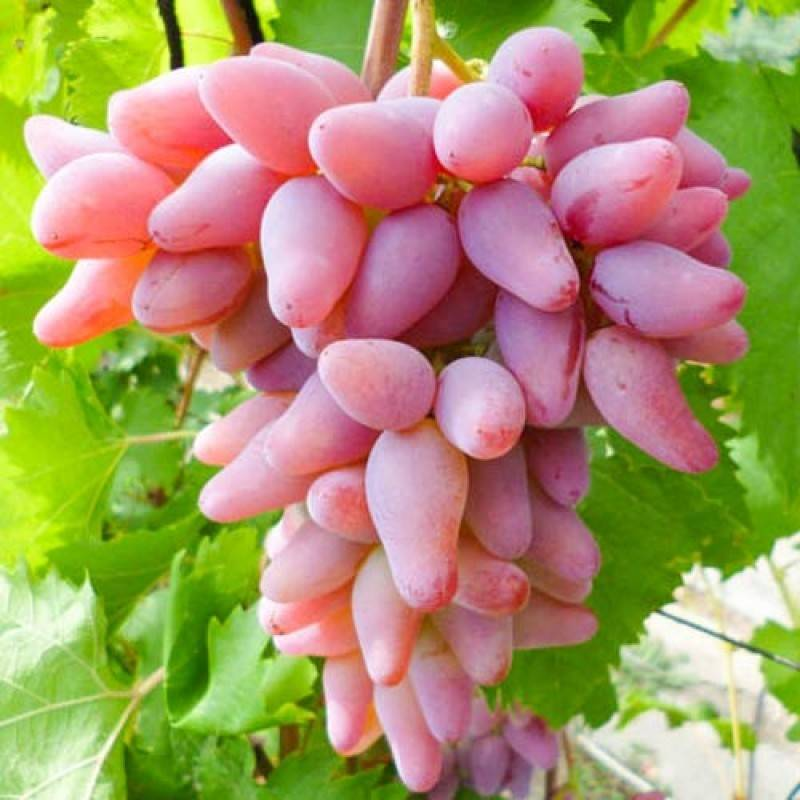 Виноград ягуар: описание сорта, фото, отзывы