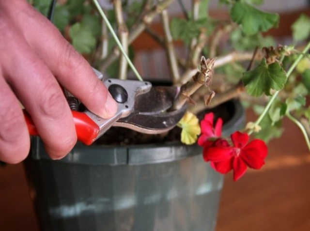 Нужно ли обрезать герань для пышного цветения — когда и как это делать