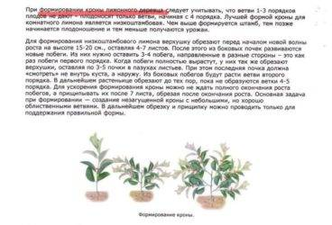 Лимон: уход в домашних условиях, условия выращивания из косточки, фото