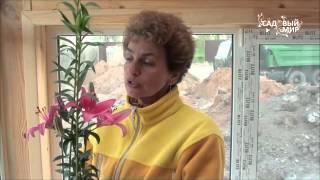 Как посадить лилию?