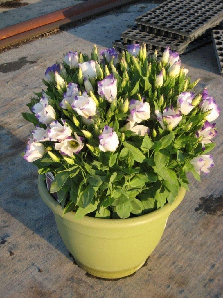 Выращивание эустомы домашней или комнатной из семян в горшке, посадка и уход,