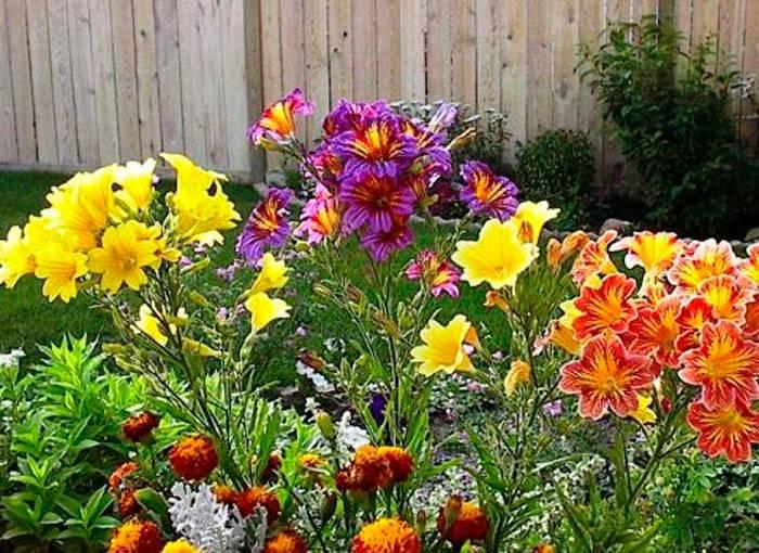 Сальпиглоссис выращивание из семян, фото в ландшафтном дизайне, посадка и размножение и уход в открытом грунте