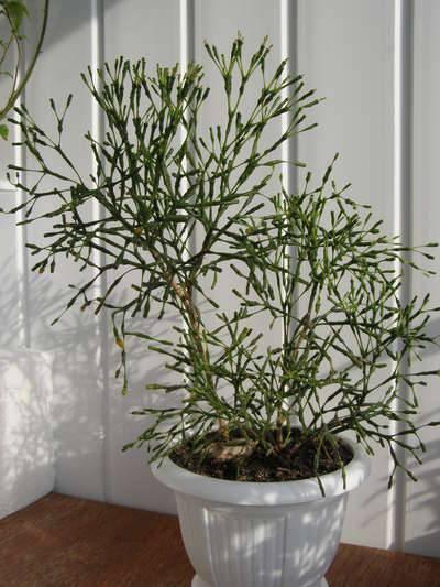 Хатиора – уход в домашних условиях. выращивание кактуса хатиоры, пересадка и размножение. описание, виды, фото