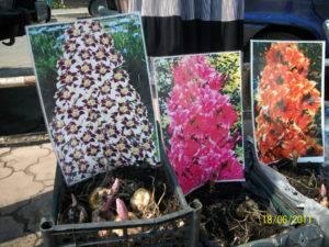 Пирамидальные лилии (28 фото): посадка и уход в открытом грунте. названия и описание сортов колоновидной лилии