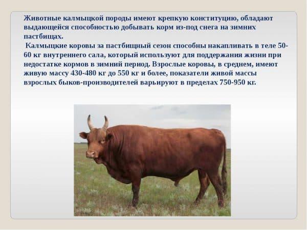 Калмыцкая порода коров. описание, отзывы, особенности с фото и видео