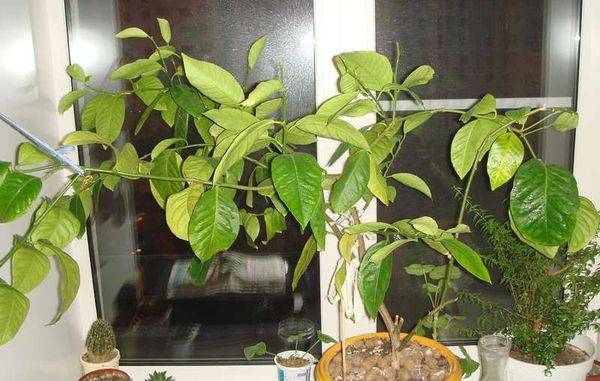 Почему у лимона желтеют листья и опадают в домашних условиях, что делать если желтеет комнатный лимон и осыпается