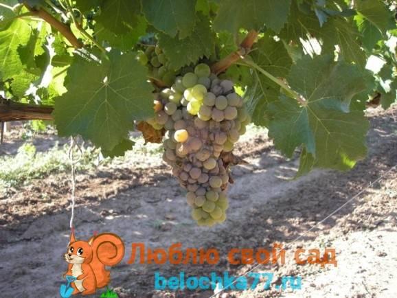 Болезни винограда: фото и чем лечить заболевания листьев, методы борьбы с вредителями