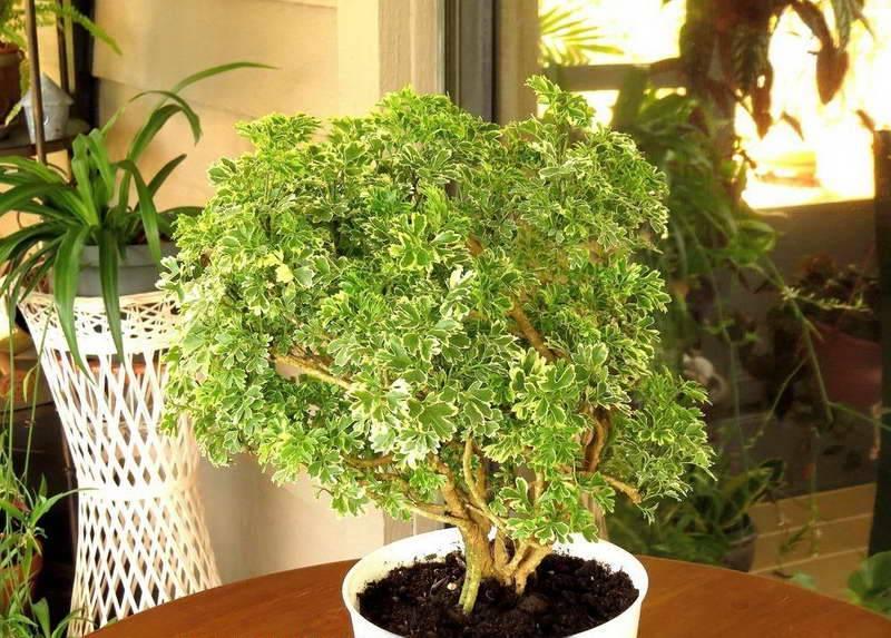 Полисциас: фото, виды и уход за растением в домашних условиях