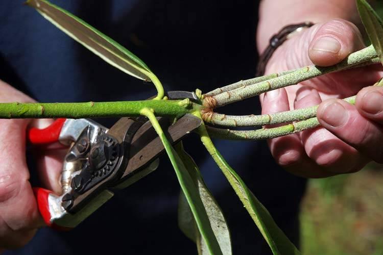 Комнатный кустарник рододендрон — размножение и уход