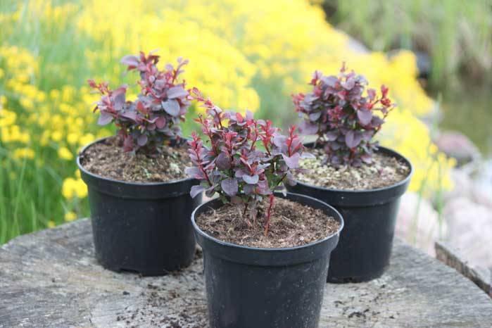 Как размножить барбарис весной, летом и осенью — черенками, отводками и семенами