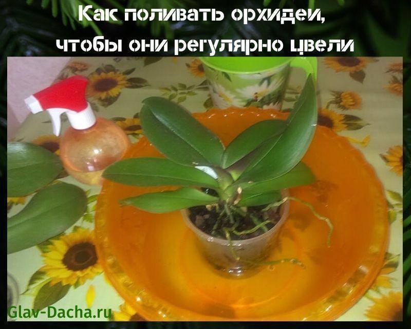 Как поливать орхидею зимой? как часто нужно осуществлять полив во время цветения? сколько раз надо поливать деток орхидеи в домашних условиях в зимнее время?