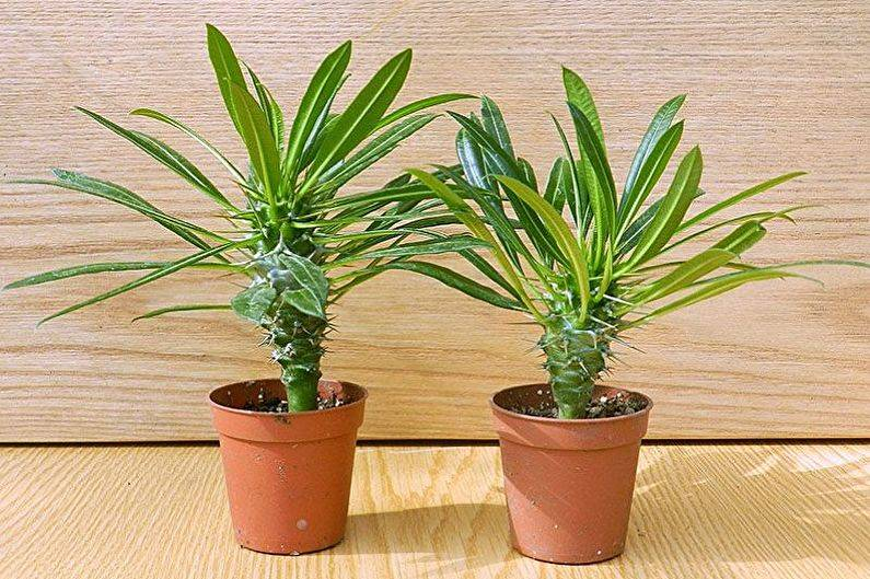 Какие цветы нельзя держать дома и почему? топ-15 опасных для здоровья растений +приметы | ( 25+ фото & видео ). комнатные растения, которые нельзя держать дома, фото, названия, а какие можно?