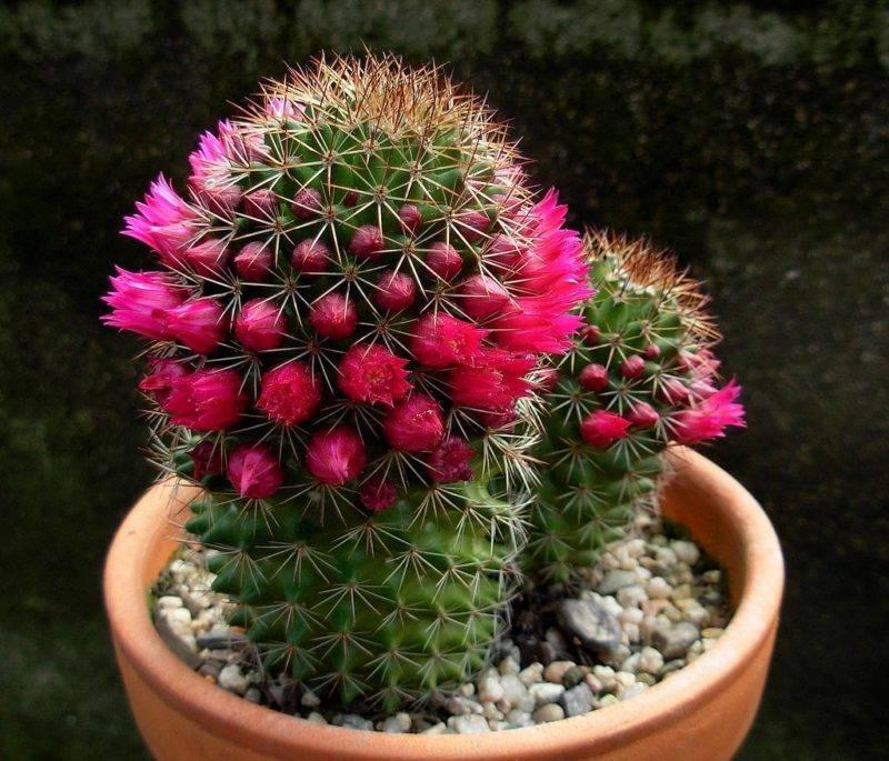 Цветные кактусы (24 фото): обзор кактусов с розовыми и красными, желтыми и синими иголками. как за ними ухаживать?