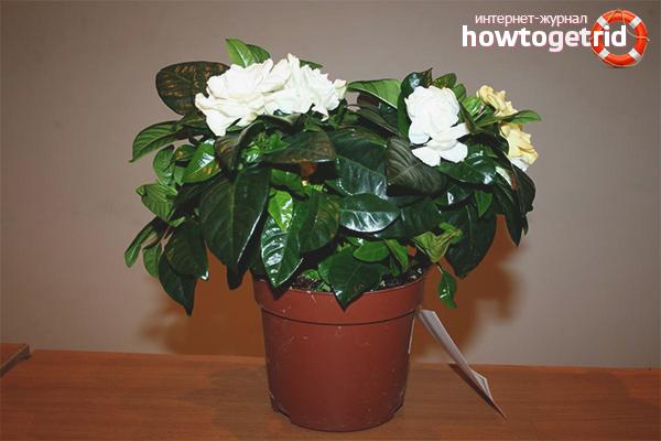 Гардения жасминовидная – выращивание и уход в домашних условиях с фото