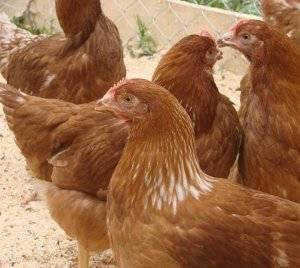 Разведение кур породы редбро: советы по содержанию и кормлению