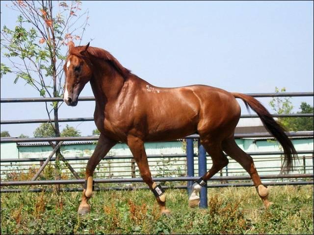 Буденновская лошадь: описание и характеристики породы