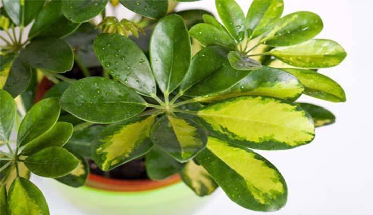 Комнатное растение шефлера – выращивание и уход в домашних условиях