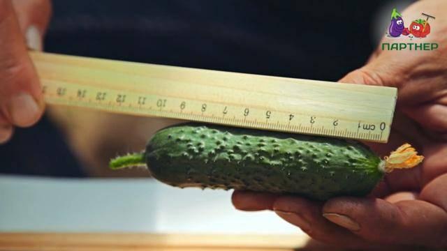 Сорт огурца фурор (f1): фото, отзывы, описание, характеристики