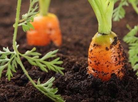 Как поливать морковь после посадки в открытый грунт, надо ли это делать сразу после посева, когда нужно и чем проводить процедуру, а также сколько раз в месяц? русский фермер