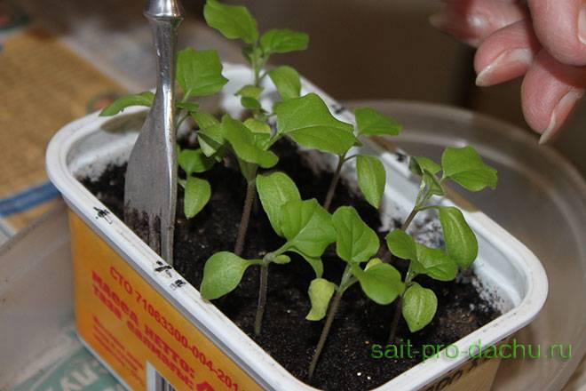 Удобрения для баклажанов - подкормка при выращивании