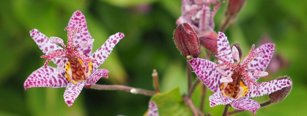 ᐉ цветок трициртис – посадка и уход: почва, размножение. виды и выращивание трициртиса - roza-zanoza.ru