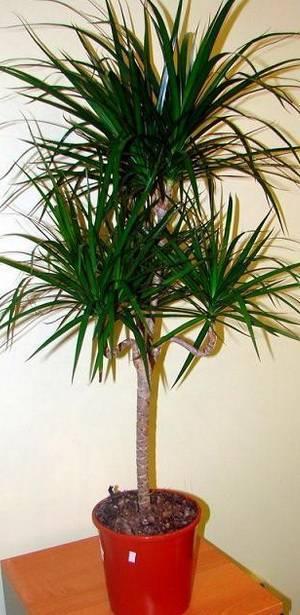 Разновидности домашней пальмы с названиями и фото