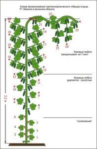Характеристика сорта огурцов мамлюк f1